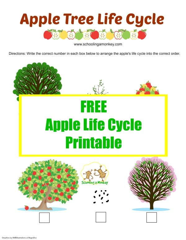 This apple life cycle printable is the perfect way to introduce a preschooler to science. Find more apple activities for kids at Schooling a Monkey!