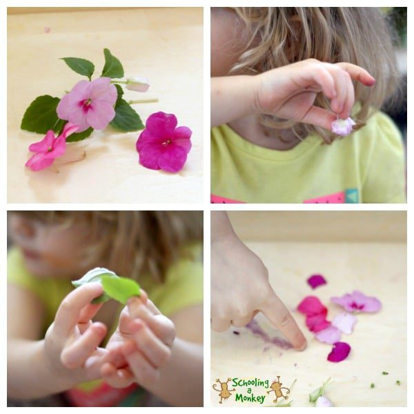This simple science activity encourages scientific exploration during flower dissection. A fun STEM activity for preschool and kindergarten!