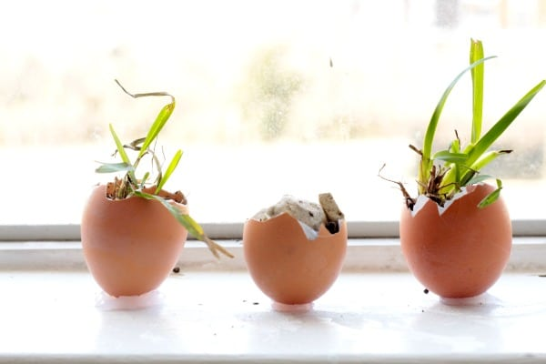 This spring, celebrate new life and growing things with the egg shell garden science activity for kids! Your kids will love growing these tiny gardens.