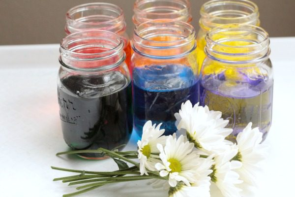 Rainbow science color changing flowers experiment for Where can i buy rainbow roses in the uk