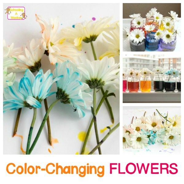 Learn about how plants drink water with capillary action in this super-fun rainbow color changing flowers experiment! Kids of all ages will love it!