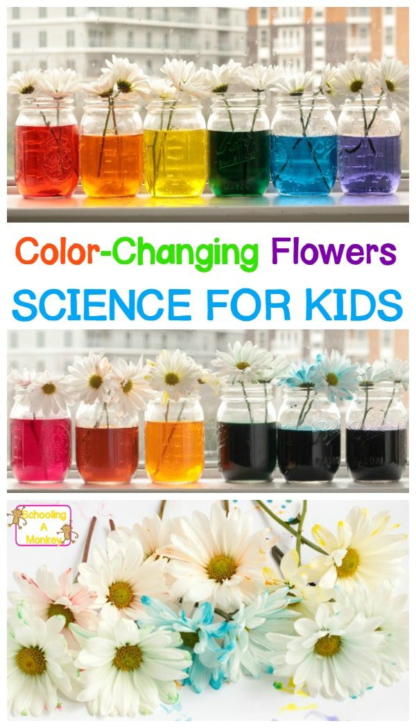 Transform white flowers into rainbow flowers with a color changing flower experiment for kids! The rainbow flowers experiment is tons of fun!