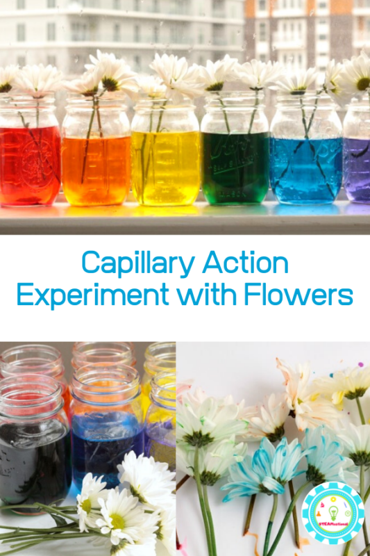 Learn about how plants drink water with capillary action in this super-fun capillary action experiment! Kids of all ages will love it! It's the perfect addition to your spring STEM activities!