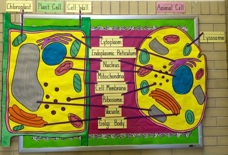 Animal and plant cell diagram classroom door.