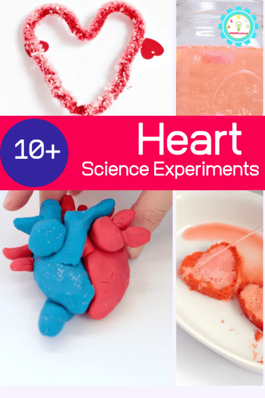 Learning about the heart or the circulatory system? These heart science projects will fit right in with any elementary or middle school science themes about the heart.