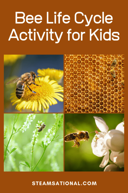 bee life cycle activity