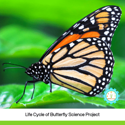 3D Butterfly Life Cycle Science Project