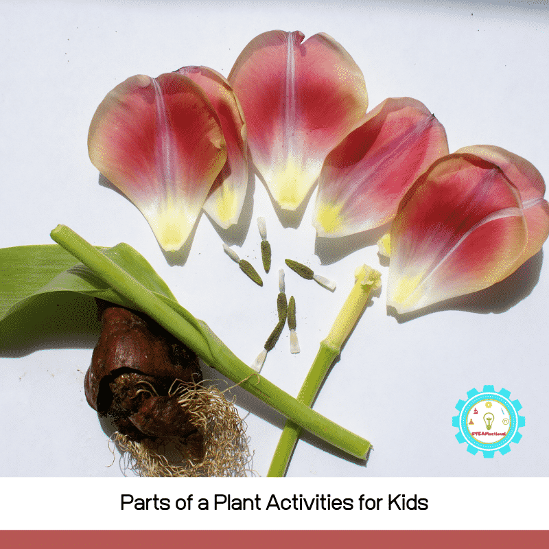These plant biology experiments teach kids about the parts of a plant using STEM lessons!